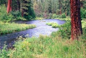 metolius_river_pine_lg1