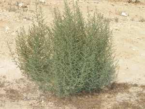 desert_bush_21
