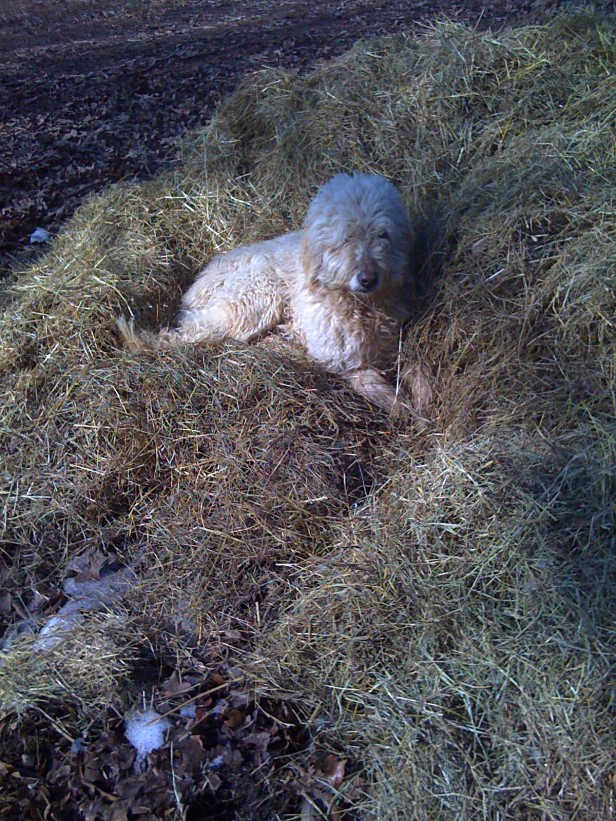 Buddy is enveloped by the hay.